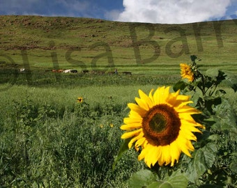 Sunflowers, rolling hills, blue sky, Lesotho, green, yellow, landscape photography, nature photography, color photography, 8x10 matted