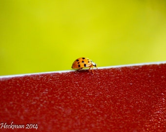 Red Lady Bug photograph