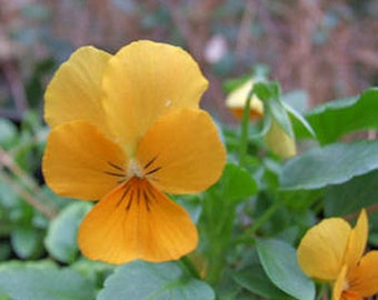 Pansy Seeds- Gold- 50 Seeds