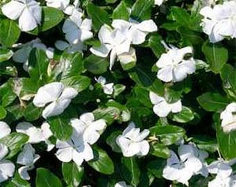 Vinca- Periwinkle-White- 50 Seeds