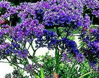 Statice seeds- Blue River - 50 Seeds