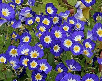 Morning Glory- Ensign seeds- various colors- 50 seeds