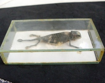 Glass Encased Show Case of a Chameleon estimated around 50 years old, 1960s