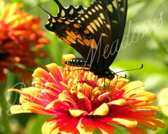 Monarch butterfly, butterfly, nature picture, nature photography, wildlife, spring picture, spring flower, floral art