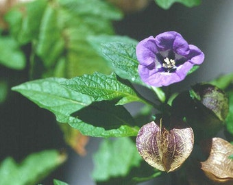 100 Seeds Nicandra physalodes,,  Shoo-fly Plant Seeds. Apple of Peru,