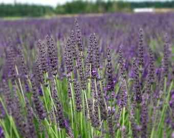 """Grosso Lavender/ Lavandin Lavandula X Intermedia/ """"Fat Spike"""" in 4 Inch Pots"""