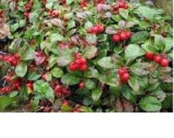 Wintergreen Flower Seeds/ Perennial   35+