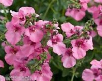 Pink Queen Diascia Flower Seeds / Barbarae / Perennial   40+