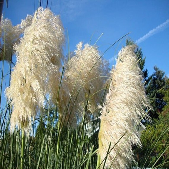 Pampas white ornamental grass seeds cortaderia selloana for White ornamental grass