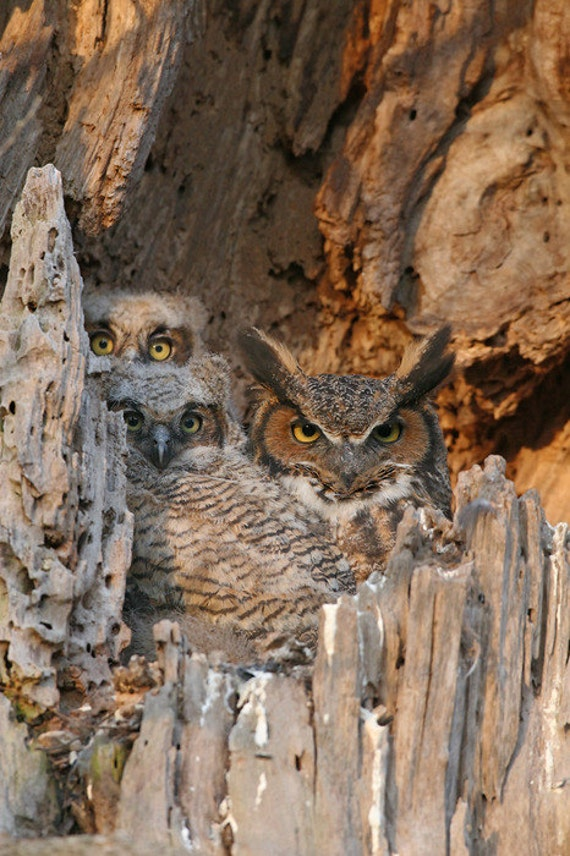 Great Horned Owl Nest Cavity Photo, Wild Owl Photo, Cabin Decor Wildlife, Family Photo, Bird Photography
