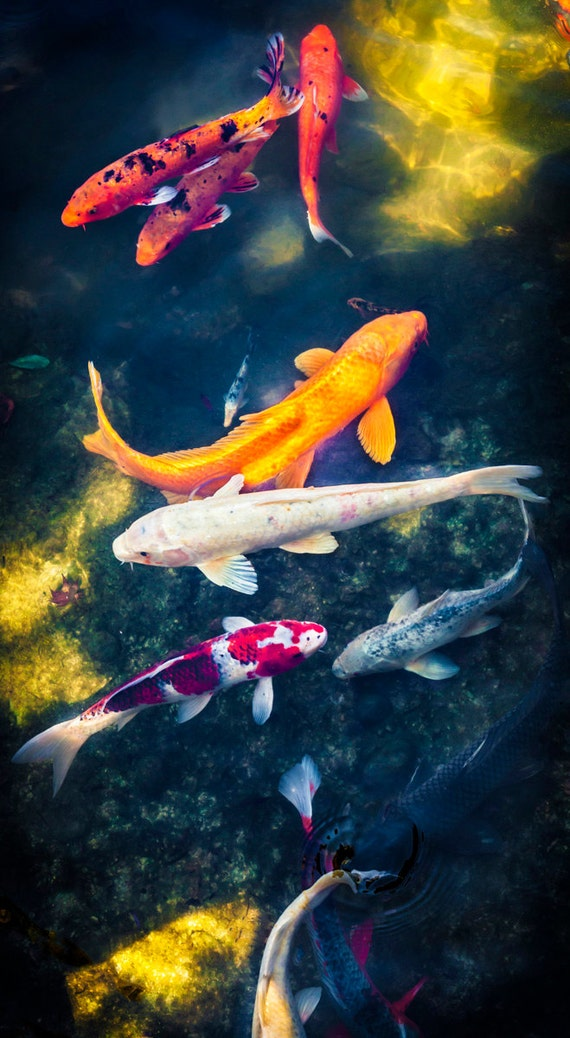 Koi fish pond panoramic wall art korean decor fine art for Koi pool decor