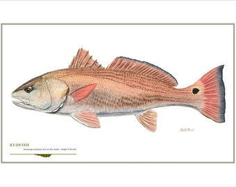 Redfish Open Edition Print by Flick Ford, Southern gamefish, Gulf Coast, Florida, natural history art, fish art, saltwater gamefish picture
