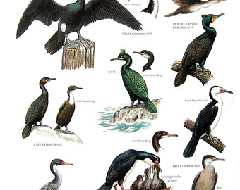 Vintage Bird Print - Cape Cormorant, Pied Cormorant, Great Cormorant, Double Crested Cormorant - 1990 Vintage Book Page - 11 x 9
