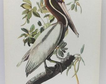 Brown pelican  image, bird image, antique bird image, Brown Pelican, antique birds,man cave,man gift,home decor,