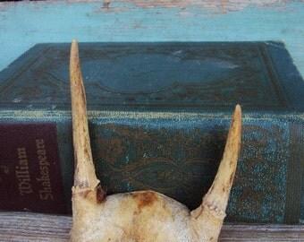 Vintage Deer Antlers Trophey  Skull Rack Horns Decorative Display Small Spike