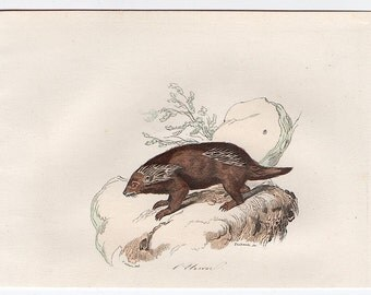 1860 porcupine animal print original antique animal hand colored engraving - buffon cuvier natural history