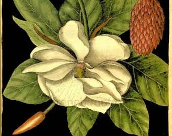 antique french botanical print magnolia flower DIGITAL DOWNLOAD