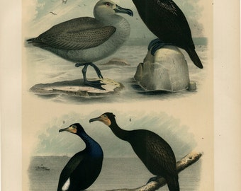 1881 antique BIRDS of NORTH AMERICA,  seagulls, cormorant,  131 years old gorgeous large print.