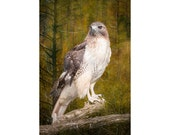 Red Tail Hawk perched on a Tree Branch in a Michigan Woodland Forest No.0273.5 - a Fine Art Wildlife Bird Photograph