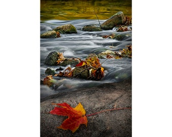 Red Maple Leaf caught on a Rock  by the Thornapple River in Southwest Michigan No.04052 A Fine Art Fall Nature Landscape Photograph