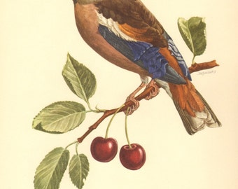 1953 Hawfinch - Coccothraustes coccothraustes, Vintage Offset Lithograph