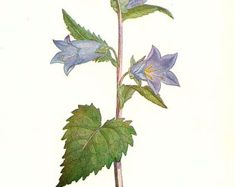 NETTLE-LEAVED BELLFLOWER - Double-Sided Antique Botanical book plate - Edward Step 1930