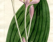 1808 CROCUS Hand Colored Antique BOTANICAL ENGRAVING Curtis Gorgeous Pink Flower
