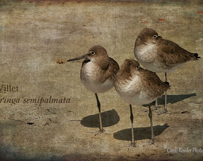Willets, Photography, Bird Photography, Beach Photography, Nature Photography