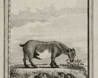 1775 Antique print of a GOAT. Buck. Goats. Sheep. Natural History. 241 years old gorgeous Buffon copper engraving  .