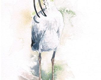 Australian White Ibis Original Watercolour Painting, Free Shipping