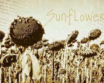 Nature Photography, sunflower heads, ripe sunflowers, sunflower field, landscape, tournesols, French Home Decor, Rustic Home Decor, Poster