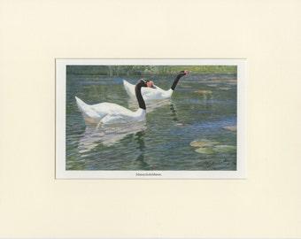 """Matted Antique Swan Print """"Black Neck Swans"""" C. 1910 Vintage Decor 11x14"""""""