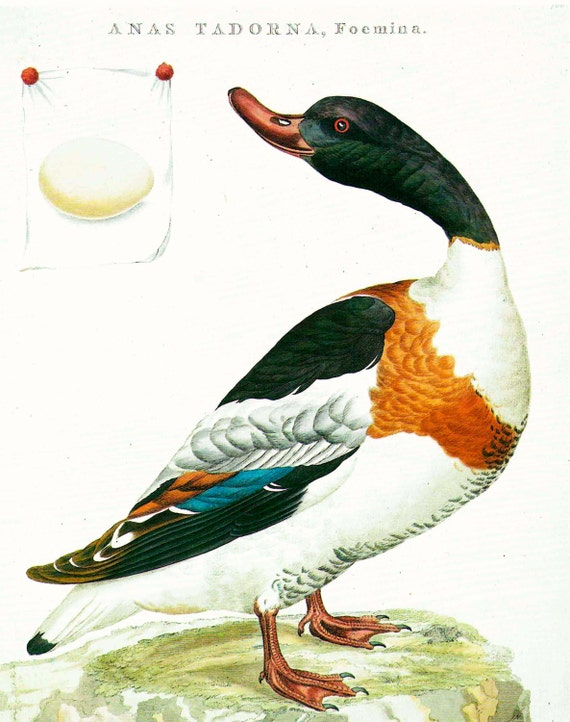 Large vintage print of Shelduck, painted by J C Sepp, multi colored bird, beautifully detailed, matted for framing, 11 x 14 ins, 1990