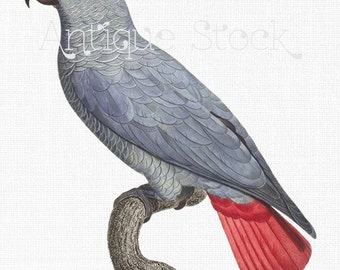 Parrot Illustration 'African Grey Parrot' Digital Download PNG + JPG Images for Wall Art, Prints, Decoupage, Collages, Invites, DIY Cards...