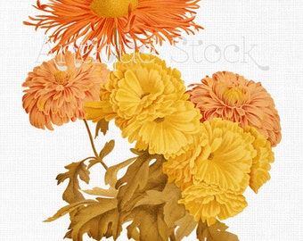 Orange and Yellow Flowers Digital Image - Varietes of Chrysanthemums for DIY Projects, Decoupage, Scrapbook, Crafts, Cards, Invites...