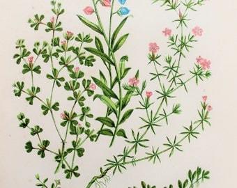 Anne Pratt Antique Botanical  Print -  Milkwort, Sea Heath, Waterwort (35)