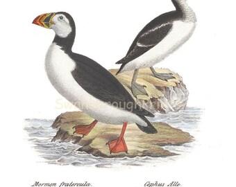 Coastal Decor Penguin and Guillimot Bird Art Study - Coastal Bird Print Decor Nautical Sea Bird Art Home Decor Beach Style Wall hanging