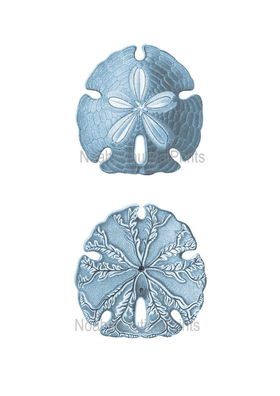 Blue sand dollar illustration - photo#9
