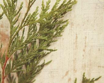 Cedar tree (02) branch, fine art photography, home decor.