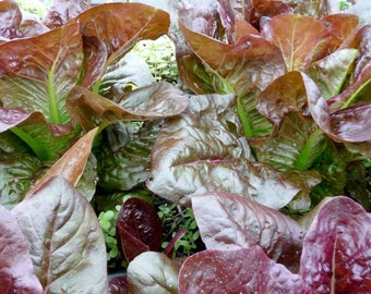 500+ Rouge d' Hiver Lettuce Seeds- French Heirloom