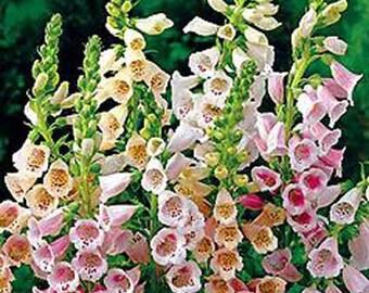 Digitalis Purpurea - 300 Seeds - The Shirley Giant Foxglove
