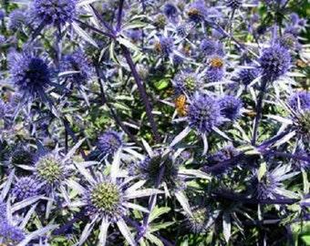 250 Seeds Sea Holly Eryngium Alpinum Dark Blue Purple Color