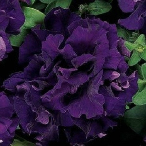how to look after petunias