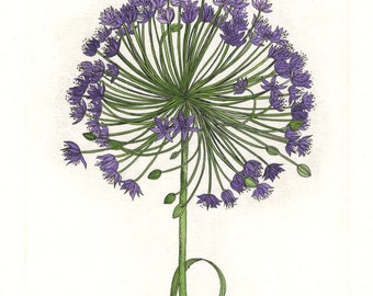 Allium. Etching and Watercolor. Botanical print. Original hand pulled print.