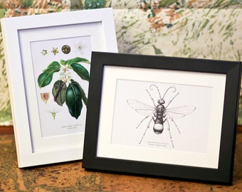 "Natural History Illustrations - 6x4"" Prints, Framed or Unframed"
