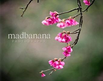 Cherry Blossoms Standout Print