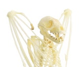 "Short-nosed Fruit Bat Skeleton 5"" | 1 piece"