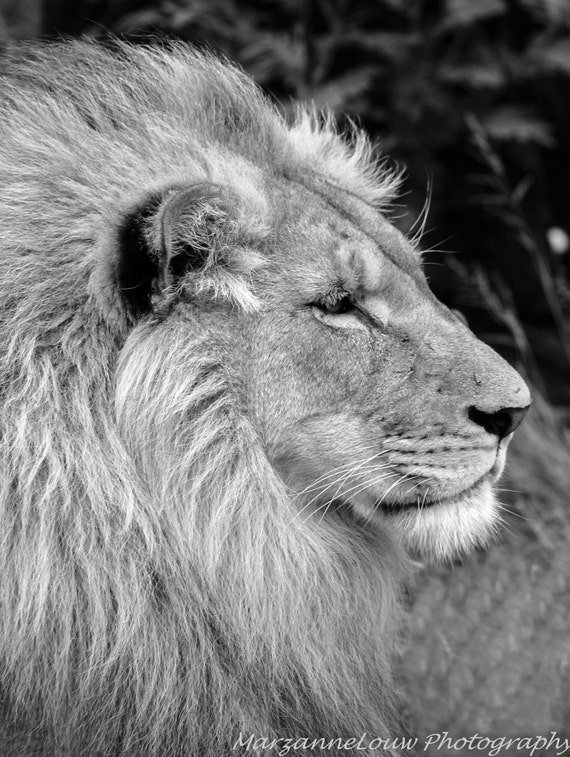 Lion Male Photo. Afric...