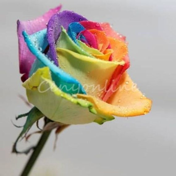 100 rare rainbow rose flower seeds beautiful home by for Rainbow flower seeds