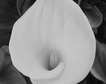 Black and White Cala Lily